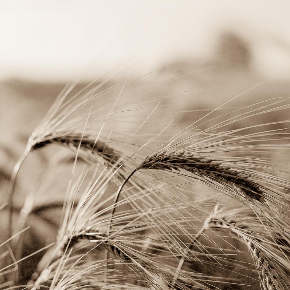 Wheat004