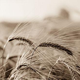 Wheat004.jpg