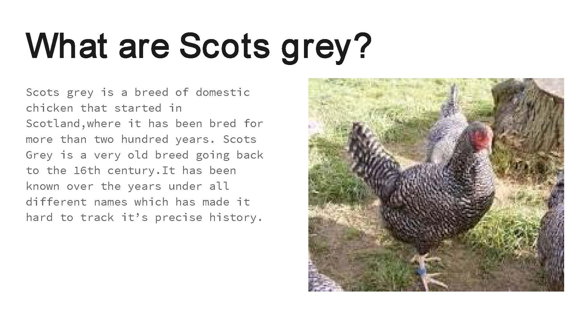 Scots Grey by Grace_002