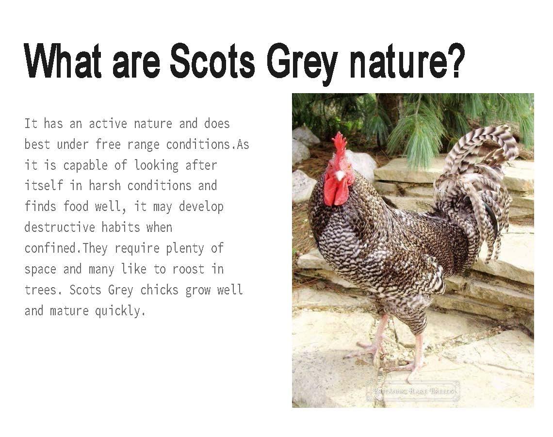 Scots Grey by Grace_005
