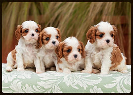 Cavalier King Charles Spaniel Club of Central Arizona