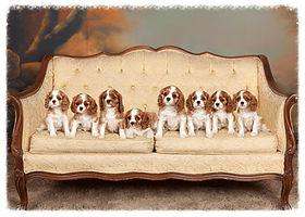 8 Cavalier Puppies