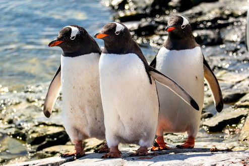 Gentoo penguin squad is ready for a fight