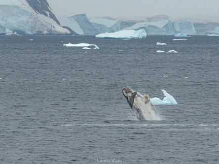 Breaching humpback whale during a cold Antarctic day