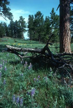 Lupine and Ponderosa Pine, Ashland Distr