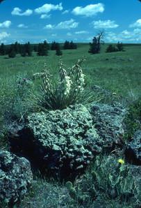Yucca Near Birney, Ashland District - Ge