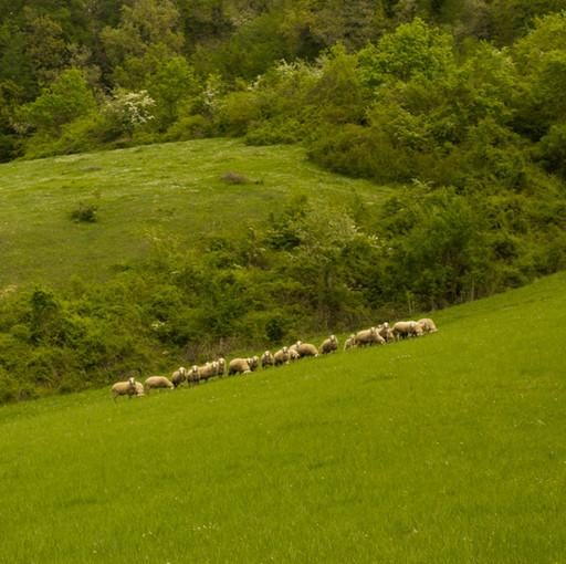 Le nostre pecorelle