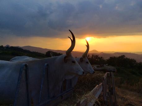 Vacche al tramonto