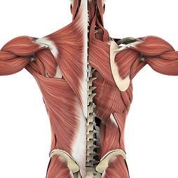 Muskeln.jpg