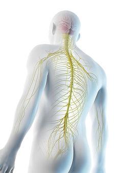 Nervensystem.jpg