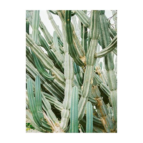 Cactus in Salina