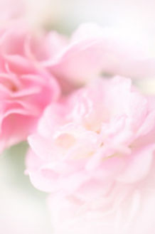 stock-photo-42114990-pink-roses-in-soft-