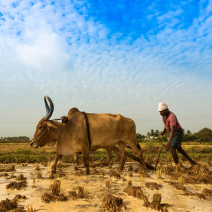 Indian Farmers Protesting Against Agricultural Reforms