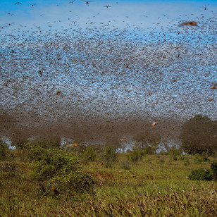 It's Armageddon: why locusts are exacerbating global food insecurity