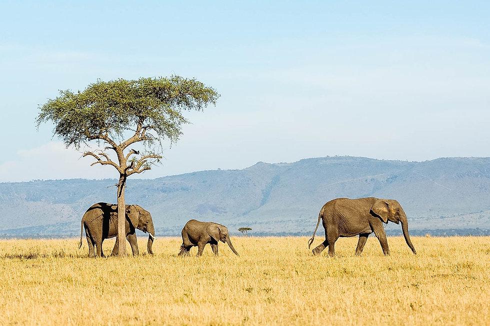 Elephants-Serengeti-Safari-timbuktu.jpg