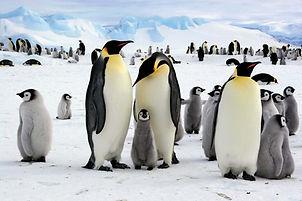 Emperor-penguins-Antarctica.jpg