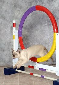 tonkinese-hoop copy.jpg