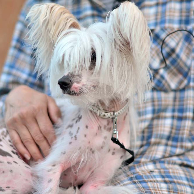 Chinese-Crested-lap.jpg