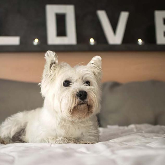 Scottish-Terrier-lap.jpg