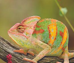 Chameleon COMP - pexeks - shallow-focus-