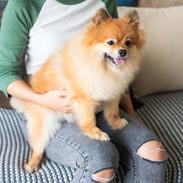 Pomeranian-lap.jpg