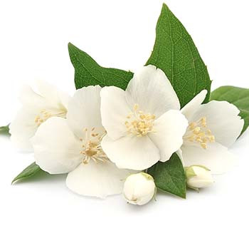 White tea extract (also known as Camellia Sinensis