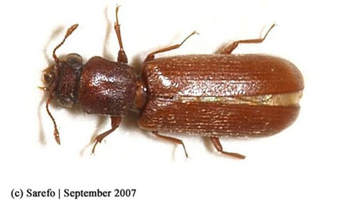 Powerpost Beetle.jpg
