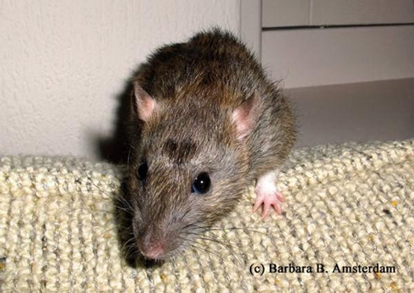 Roof Rats.jpg