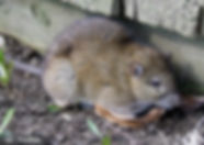 Norway Rats.jpg