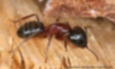 Carpenter Ants.jpg