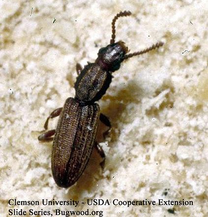 Merchant Grain Beetles.jpg