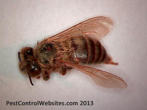 Africanized Killer Bees.jpg