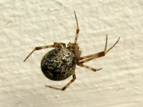 American House Spider.jpg