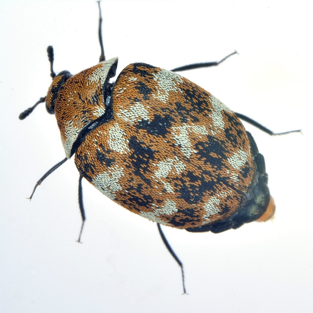 carpet beetle 2.jpg