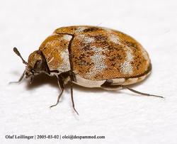Carpet Beetles.jpg