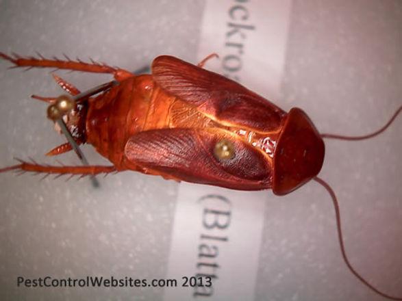Oriental Cockroach.jpg