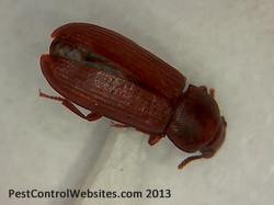 Flour Beetle.jpg