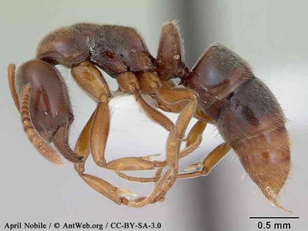 Argentine Ants.jpg