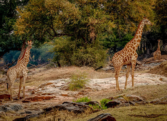 Giraffes in the Ancient Landscape of Koro River and Island Camp Botswana