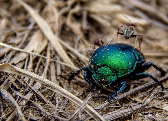 Metallic Green Dung Beetle & Co