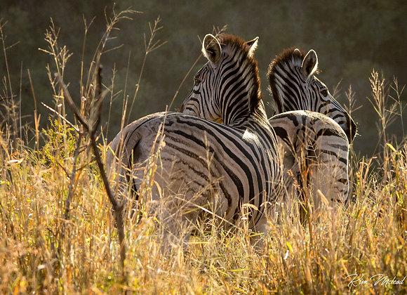 Dazzling Zebras I