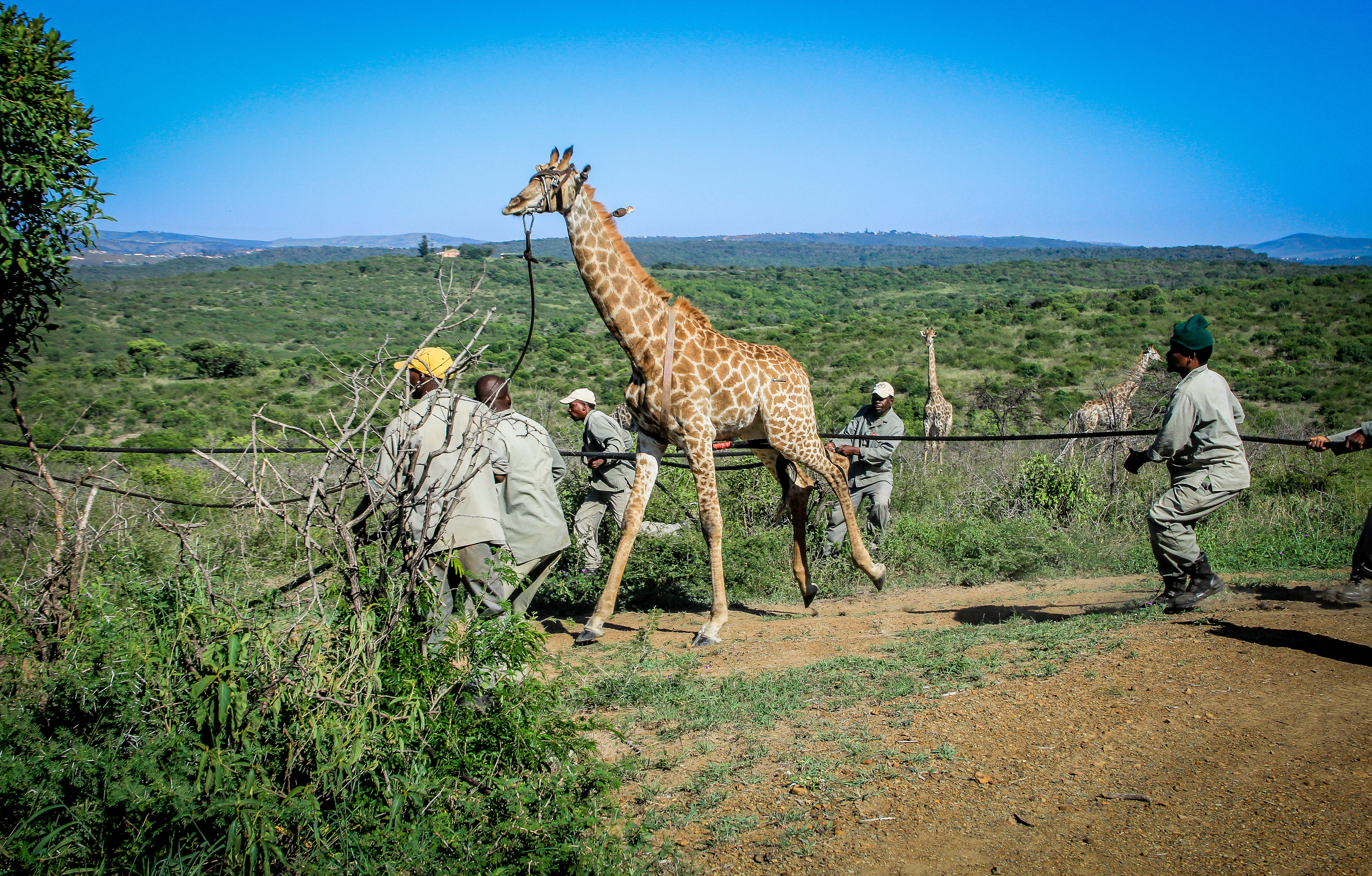 Giraffe capture 30 March 2016-17