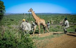 Giraffe capture 30 March 2016-17