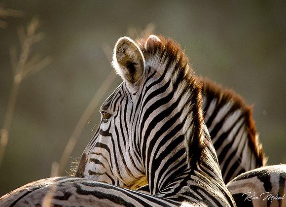 Dazzling Zebras II