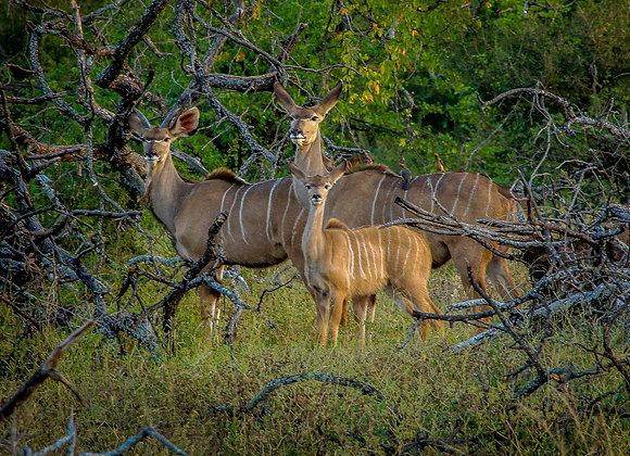 Ndzuti Kudu