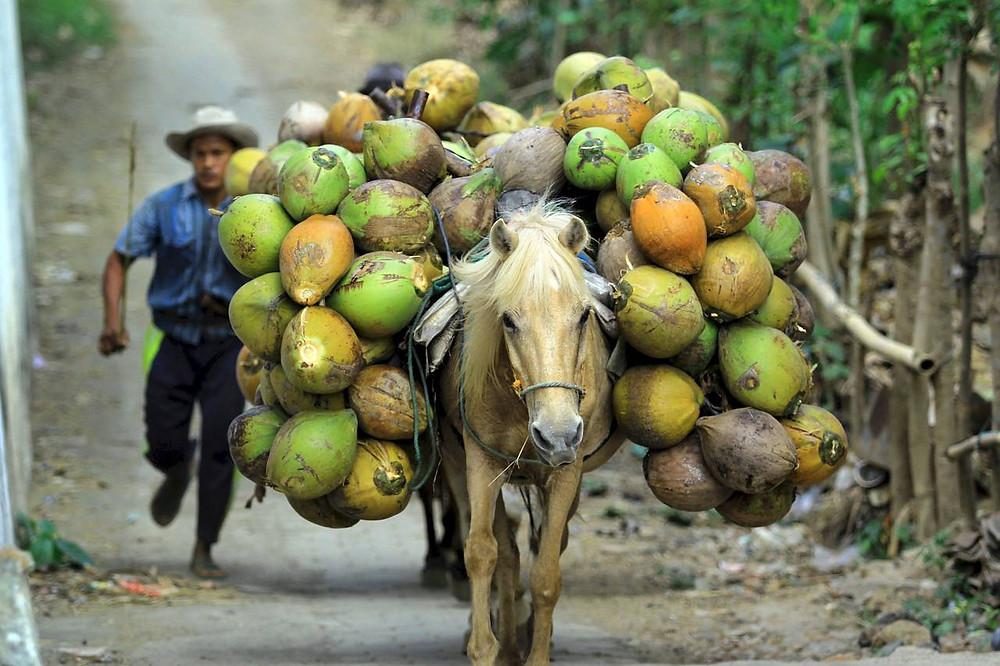 La historia de las plantaciones de coco