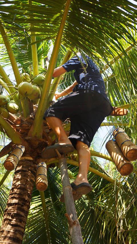 Nectar de Coco extraido de la palma