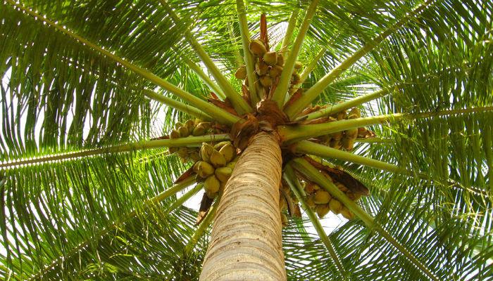 Azúcar de Palma de Coco