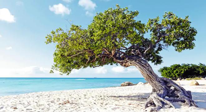 Aruba beach with fofoti tree divi divi tree