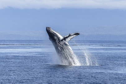 Whale Watching Maui Hawaii EverAfter Travel Agency